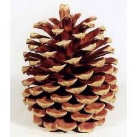 Çam kozalağı-Pine Cone